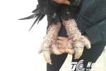 Nông dân 'chơi ngông': Sẵn sàng làm lẩu gà Đông Tảo chân 'khủng' nếu bán không được giá