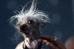 Cận cảnh những chú chó xấu nhất thế giới