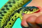 Vào mùa rắn độc cắn người: Hoàng loạt trường hợp liệt tứ chi, khó thở