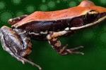 Tiêu diệt bệnh cúm bằng chất nhầy trên da ếch