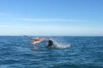 Video: Xem hải cẩu lông mao hỗn chiến bạch tuộc khổng lồ