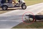 Clip: Cá sấu ngậm con mồi, khệnh khạng dạo bước trong sân golf gây sốc