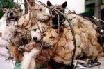 Người Việt ăn thịt 5 triệu con chó mỗi năm, đứng số 2 thế giới