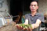 Người dân Lạng Sơn ứa nước mắt vì hoa hồi rớt giá