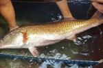 Cá sủ vàng là cá gì và ngon cỡ nào mà có giá tiền tỷ?