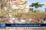 Cây cảnh độc lạ giá hàng trăm triệu hút khách mùa Tết