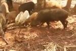 Đàn lợn rừng truy sát trăn khổng lồ trả thù cho đồng loại