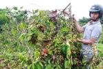 450 cây cà phê sắp thu hoạch bị nhóm thanh niên chặt phá, chủ vườn phẫn uất kêu cứu