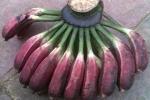 Cây chuối hột: 'Thần dược' trị bệnh từ gốc đến ngọn