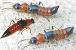 Hà Nội: Bệnh viêm da do kiến ba khoang tăng đột biến