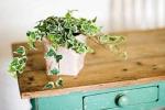Muốn thải khí độc trong nhà, bạn nên trồng những loại cây này