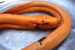 Kỳ lạ con lươn dài 1,1m, nặng 1,6 kg, màu vàng óng