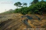 Cảnh tượng kinh ngạc trong mùa sinh sản của rùa khổng lồ