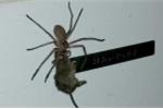 Nhện khổng lồ tha chuột chạy như phim viễn tưởng ở Australia