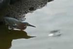 Tròn mắt xem chim diệc thông minh dùng bánh mì câu cá