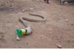 Hổ mang chúa quằn quại nôn ra chai nhựa vì nuốt nhầm