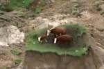 Video: 'Gia đình bò' loay hoay trên ốc đảo sau động đất khiến dân mạng 'dậy sóng'