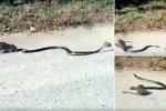 Chuột mẹ lao vào cắn xé rắn đói, giải cứu chuột con