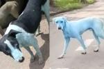 Sự thật đáng sợ đằng sau những chú chó đổi màu kỳ lạ ở Ấn Độ
