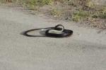 Cận cảnh rắn đen bị 'động kinh'