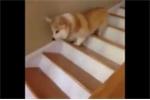 Cười vỡ bụng clip chó nhảy tưng tưng xuống cầu thang
