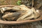 Tục ướp xác vô cùng thần bí của một bộ tộc ở Philippines