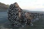 'Thủy quái' kỳ dị trôi dạt vào bờ biển New Zealand