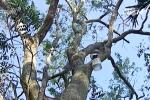 Số phận hiện tại của cây sưa được đấu giá 24,5 tỷ đồng ở Bắc Ninh