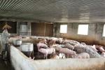Chống nắng nóng, lắp điều hòa cho... lợn