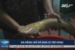 Clip: Mục sở thị cá trê vàng quý hiếm nặng gần 2kg ở Đà Nẵng