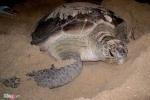 Người dân làng chài giúp rùa biển 'vượt cạn'