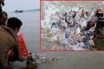 Chuyên gia thủy sản: 'Phóng sinh cá chim trắng ra sông Hồng phản cảm cả khoa học và tâm linh'