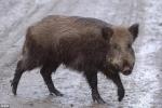 Lợn rừng 'sát thủ' tấn công, giết dã man 3 chiến binh IS