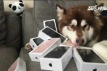 Con trai tỷ phú giàu nhất Trung Quốc mua 8 chiếc iPhone 7 cho chó cưng