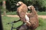 Cười vỡ bụng clip người đàn ông đạp xe chở cừu đi ngắm phố phường