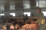 Video: Chủ trang trại dùng phân lợn 'giải cứu' đàn lợn mất giá