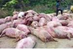 Kinh hoàng dân chia nhau xác lợn chết ở Cao Bằng