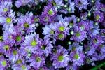 Phát hiện tác dụng giảm cân diệu kỳ của hoa cúc tím