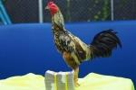 Choáng váng 29.000 USD chuyển nhượng một con gà tại Thái Lan