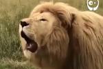 Cười vỡ bụng nghe sư tử 'luyện giọng' đầy xúc cảm