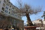 Đào rừng 'Long chầu mặt nguyệt' đắt nhất miền Bắc, giá 180 triệu đồng