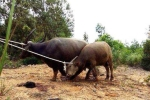 Thợ săn mật phục, tóm gọn trâu điên tấn công người ở Quảng Trị