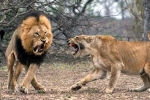 Gây sự với sư tử cái, sư tử đực dũng mãnh bị đánh gãy răng