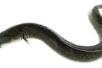 6 người suýt chết vì ăn ruột cá chình um măng chua