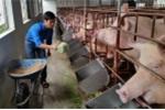Mô hình chăn nuôi ứng dụng công nghệ sinh học tạo hiệu quả kinh tế cao