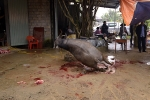 Lời đồn 'trâu báo oán' ở Bắc Giang: Tan nát gia đình, người chết, người tàn tật vì giết trâu