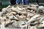Hàng trăm con cá mập đầu búa chất đống bán rẻ chưa từng thấy
