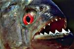 Kinh hoàng loài cá Piranha ăn thịt người