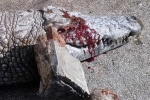 Cá sấu bị khách tham quan ném đá chết trong vườn thú Tunisia