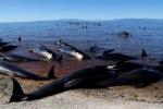 New Zealand lo sợ hàng trăm xác cá voi phát nổ bên bờ biển